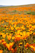 Poppies grow in a field during the California superbloom of wildflowers