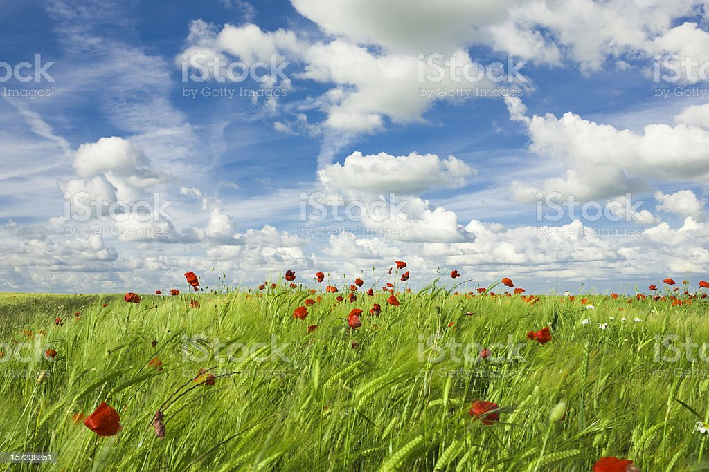 Poppies growing in a spring landscape royalty-free stock photo