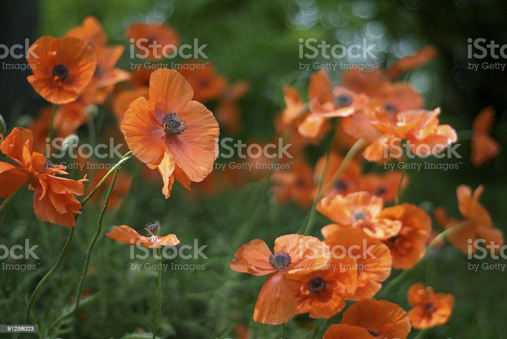 Poppies III royalty-free stock photo