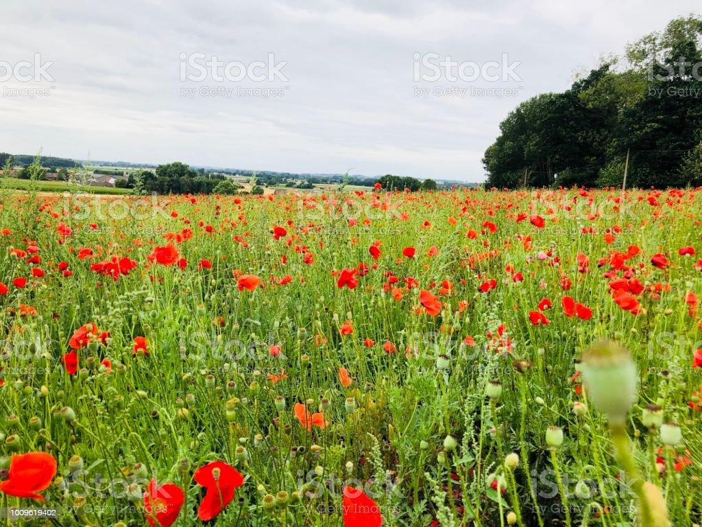 Poppies In A Field In East Flanders World War Memorial Great War