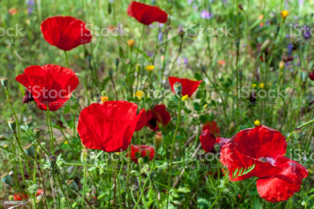 Poppies in a garden - Royalty-free Agricultural Field Stock Photo