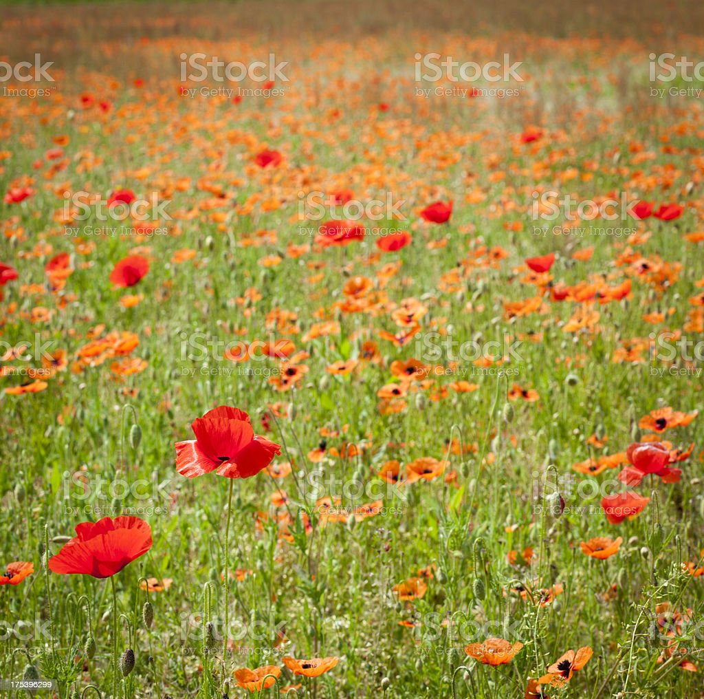 Poppies In A Meadow, Square royalty-free stock photo
