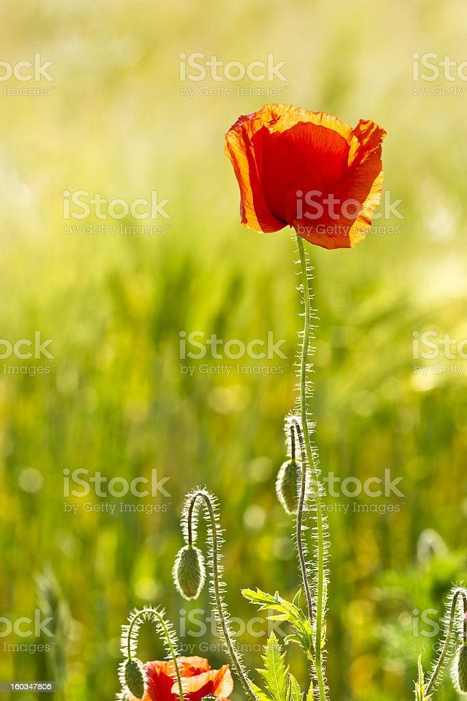 Poppies in a summer meadow royalty-free stock photo