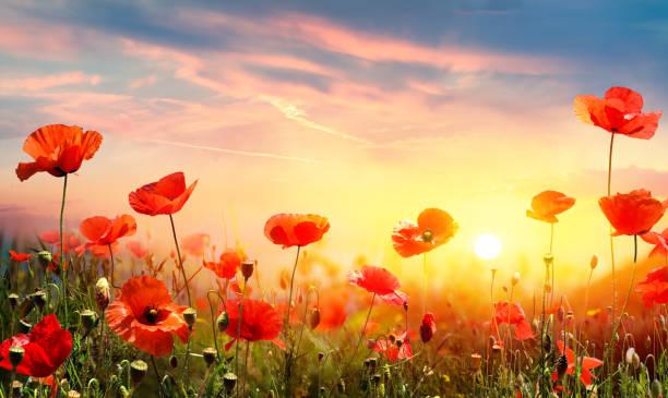 Mohnblumen im Feld bei Sonnenuntergang – Foto