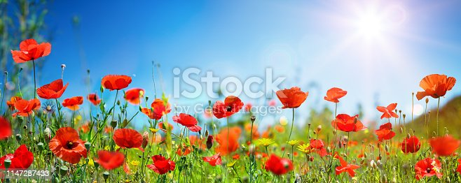 Poppies In Meadow With Blue Sky And Sunlight