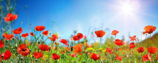 Poppies In Field In Sunny Scene With Blue Sky Poppies In Meadow With Blue Sky And Sunlight wildflower stock pictures, royalty-free photos & images