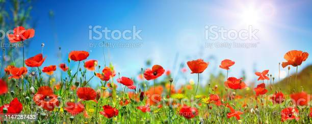 Photo of Poppies In Field In Sunny Scene With Blue Sky