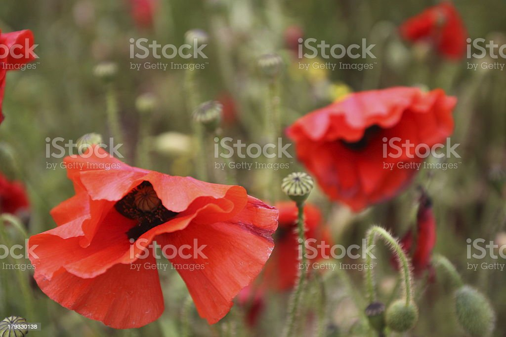 Poppies in Field royalty-free stock photo