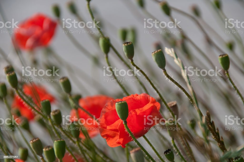 Poppies in Flanders stock photo