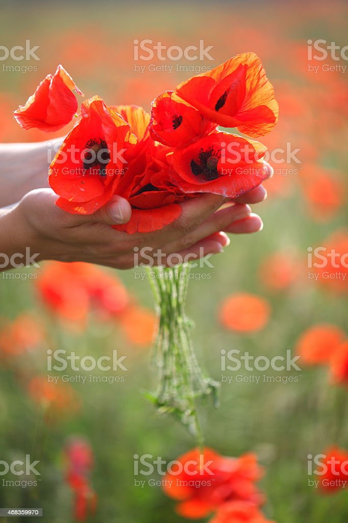 Poppies in human hands royalty-free stock photo