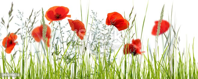 istock poppies in meadow on white background 994289334