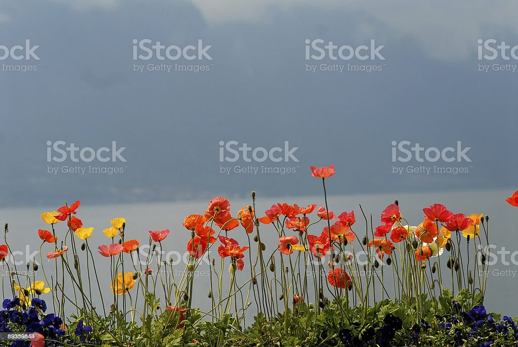poppies in Montreaux royalty-free stock photo