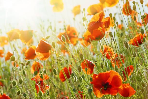 Poppies in sunlight – Foto
