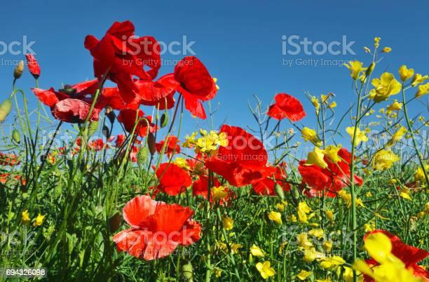 Poppies in sunshine.