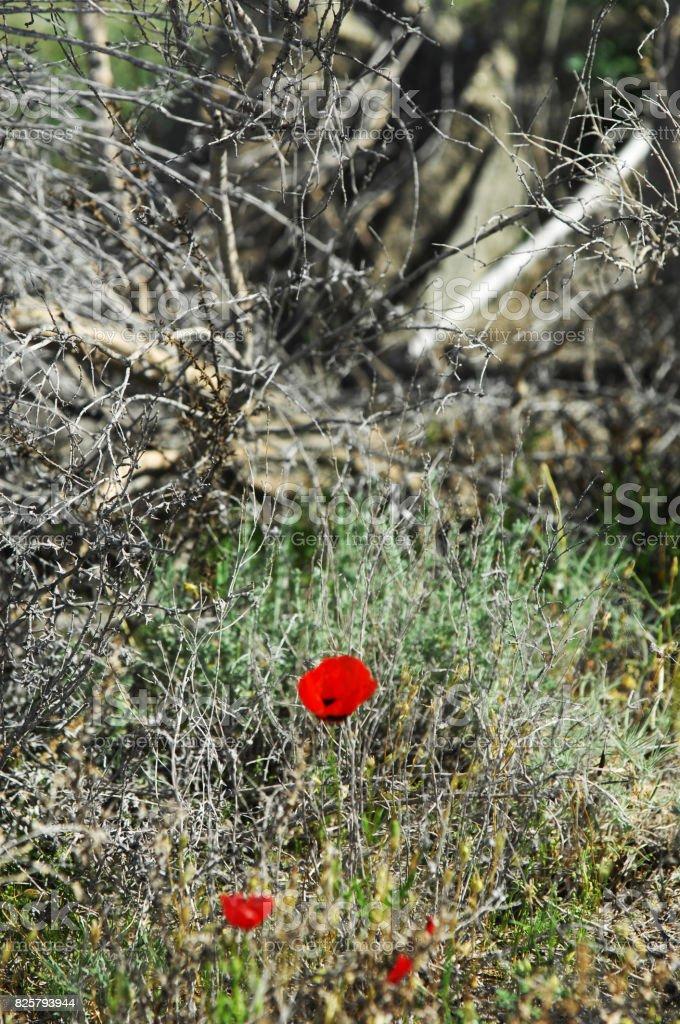 poppies in the desert stock photo