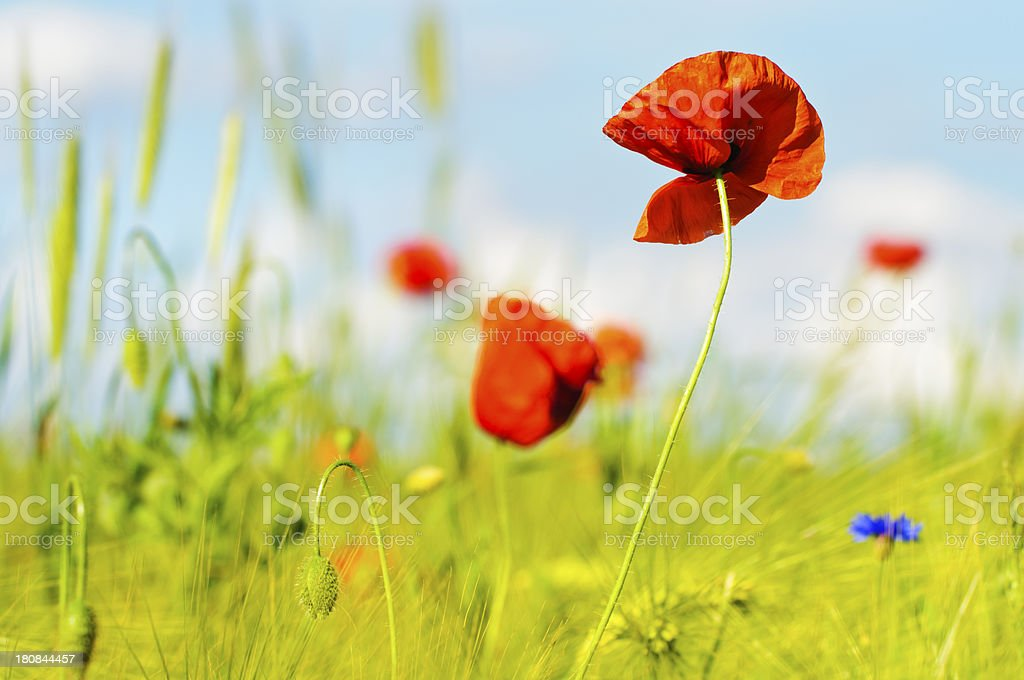 Poppies in the field royalty-free stock photo