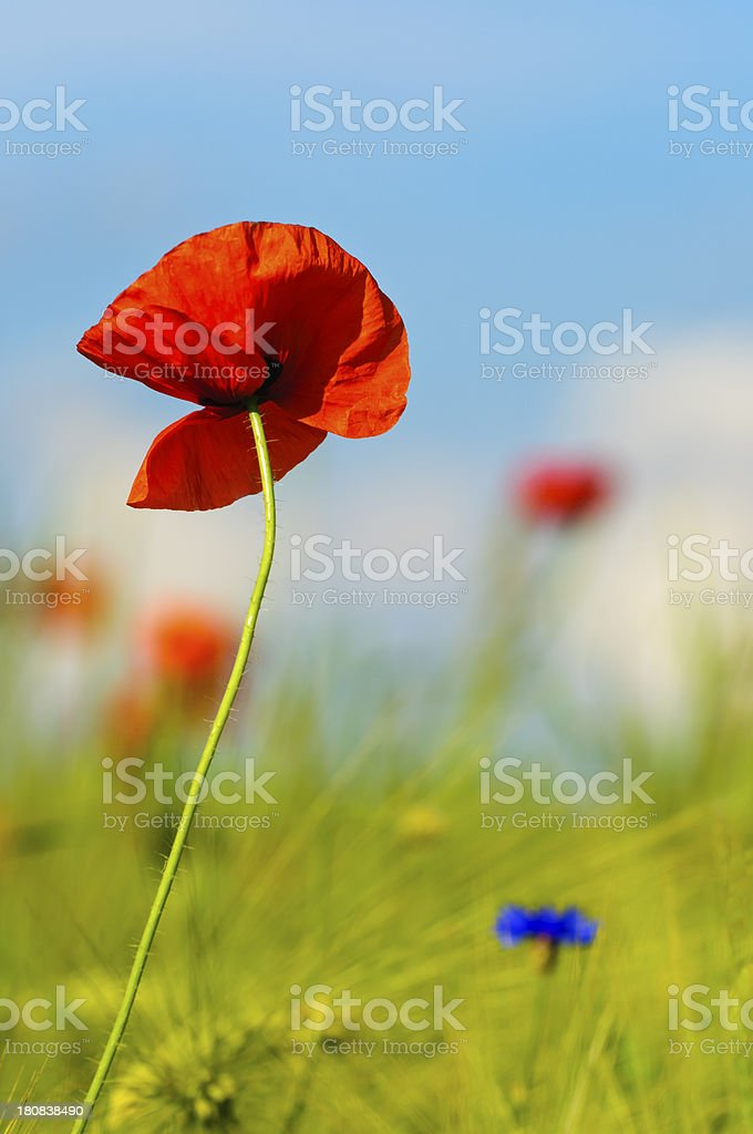 Poppies in the sun royalty-free stock photo