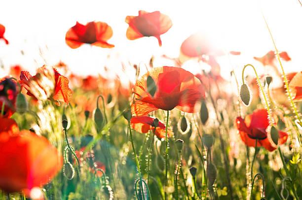 poppies in der sonne - mohn stock-fotos und bilder