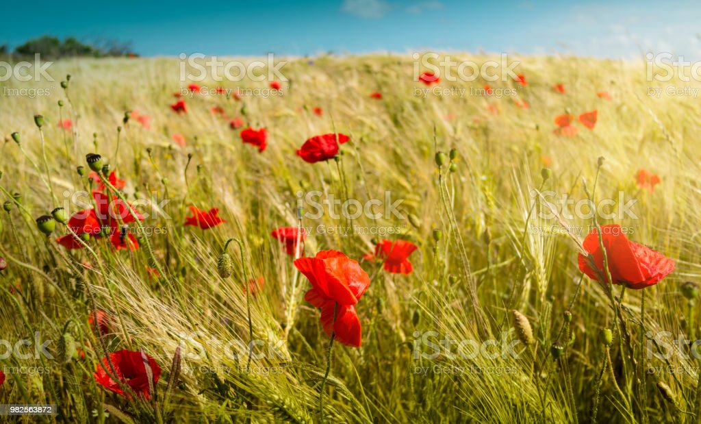 Mohnblumen im Weizenfeld stock photo