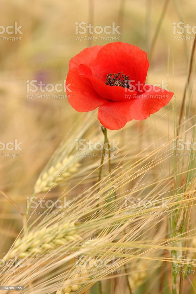 poppies in the wheat royalty-free stock photo