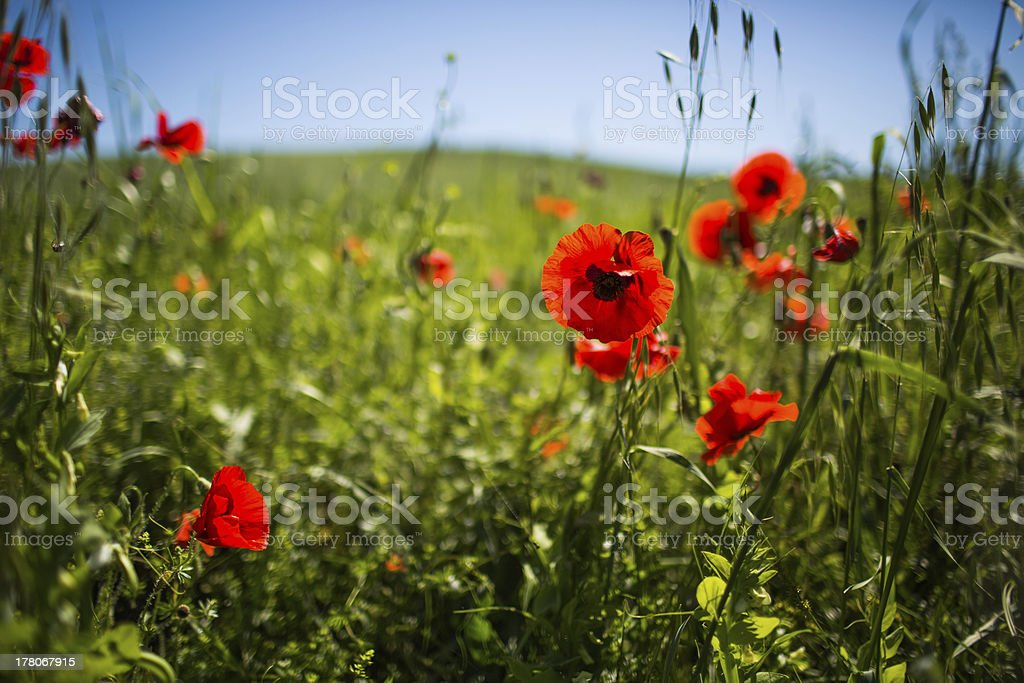 Poppies in Toscana stock photo