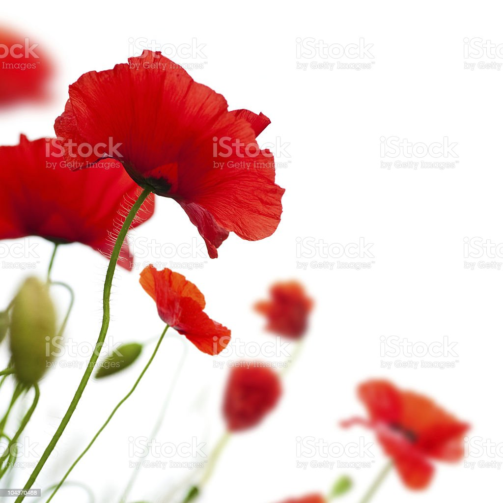 poppies isolated on white - background royalty-free stock photo