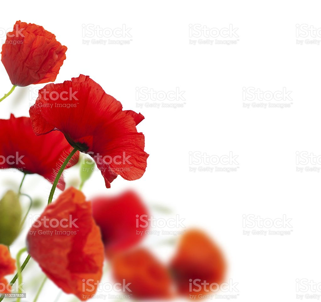 poppies isolated on white stock photo
