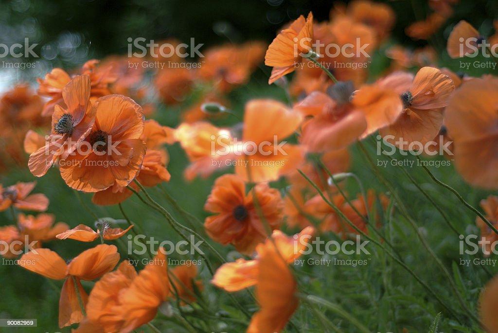 Poppies IV royalty-free stock photo
