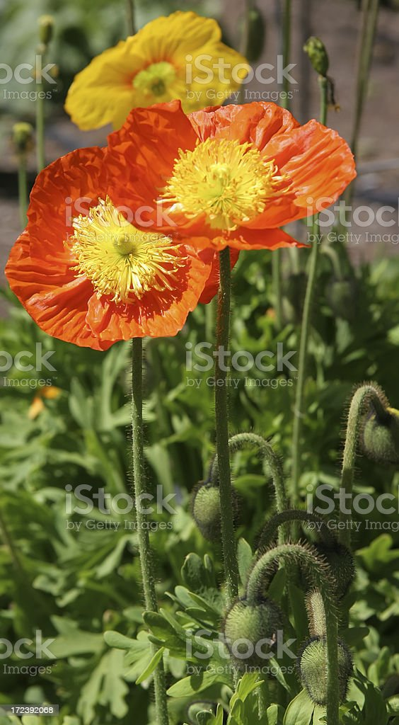 Poppies Of California royalty-free stock photo