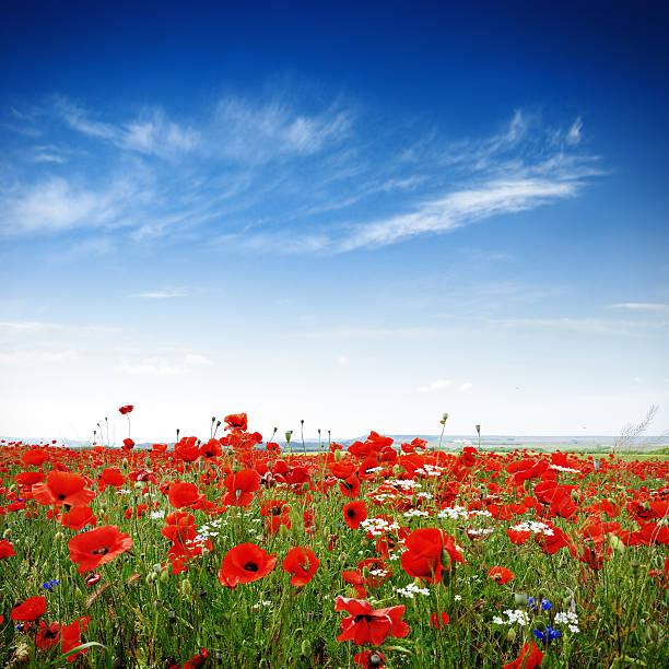 Poppies on a bright sunny day picture id171265865?b=1&k=6&m=171265865&s=612x612&w=0&h=xw72blg0f7s7xydveivvnrrvszgrt2prwj lt6zy8hg=