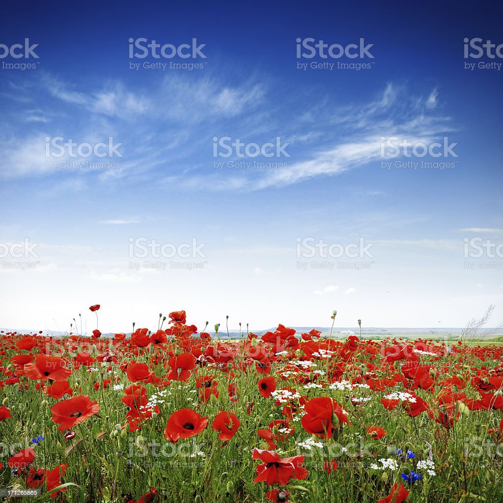 Poppies on a bright sunny day stock photo