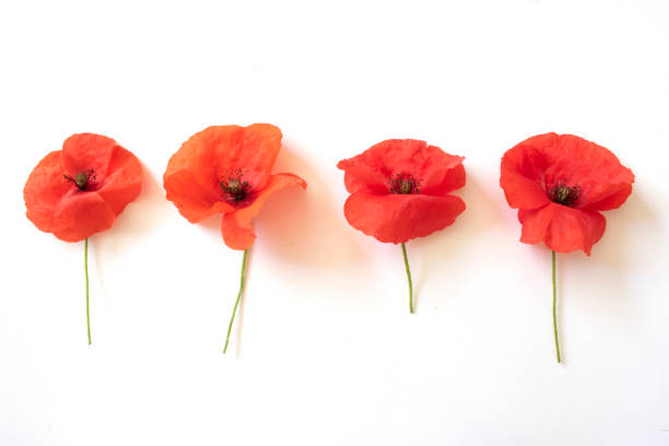 Poppies on a White Background stock photo