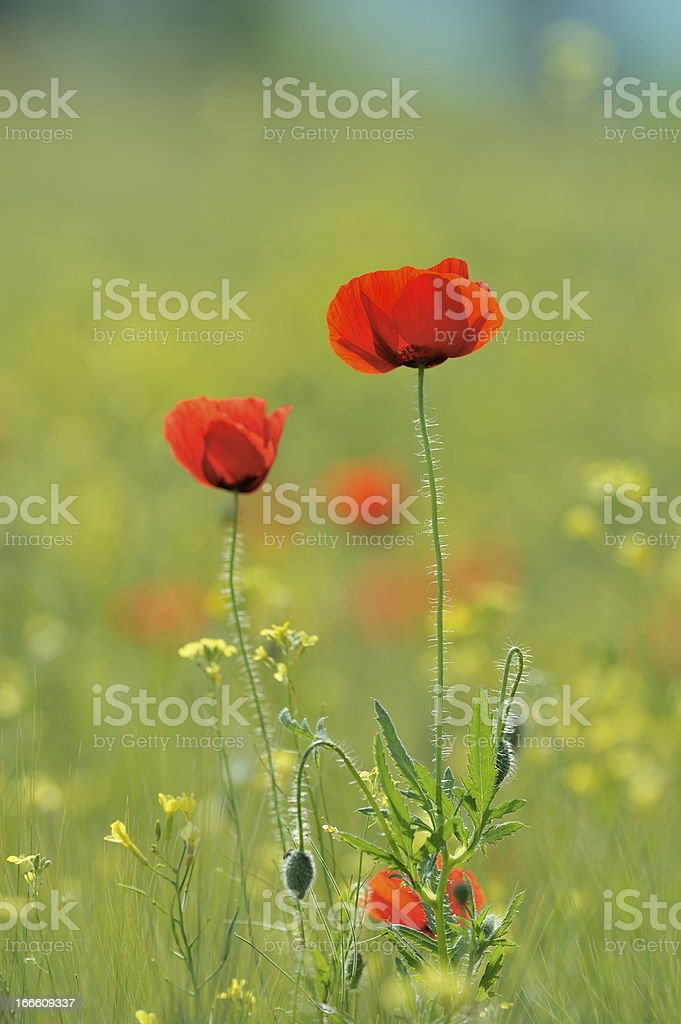 poppies on field royalty-free stock photo
