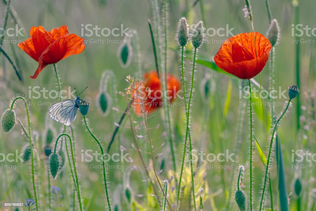 poppies on green backgound stock photo