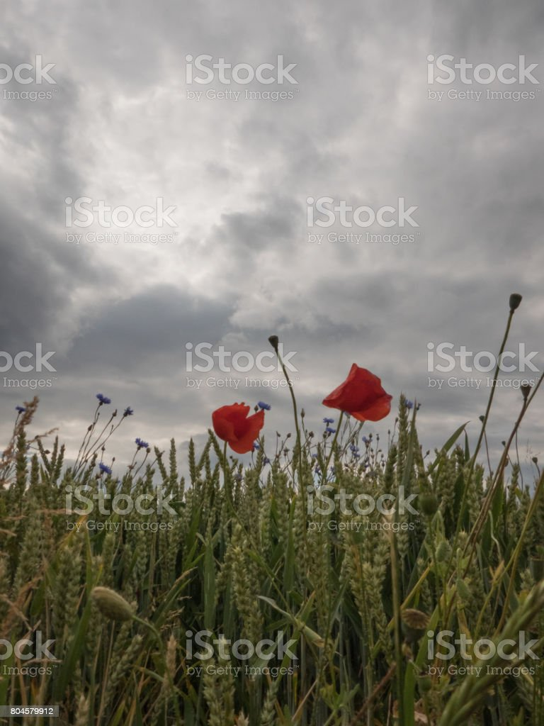 poppies on the border of a field with cloudy sky - poppy flower stock photo