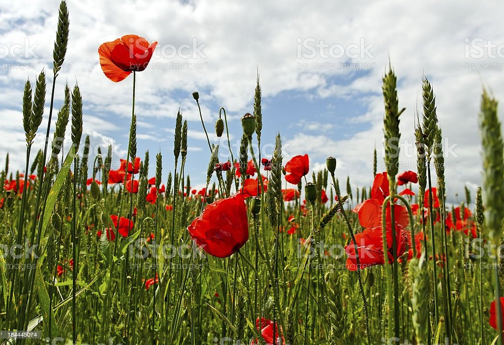 Poppies on the field. royalty-free stock photo