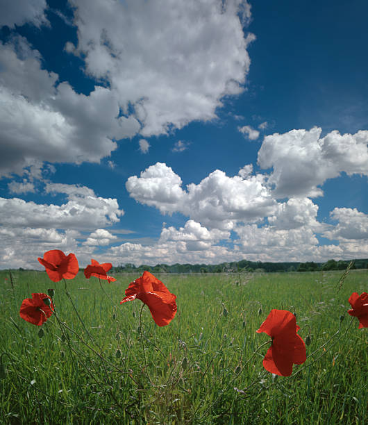 Poppies on the meadow. stock photo