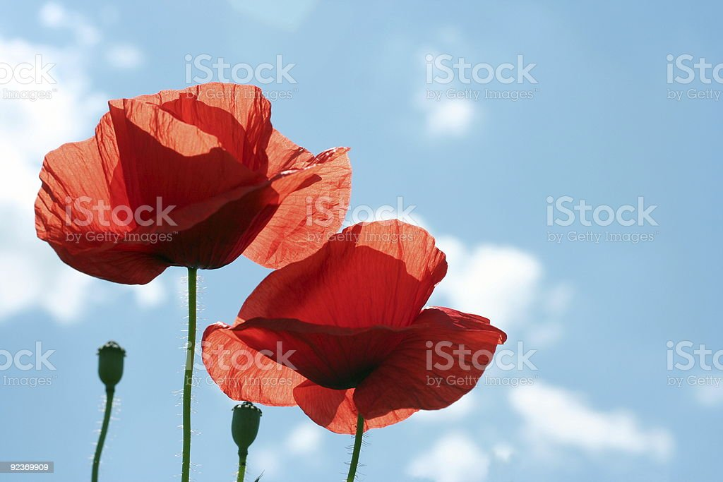 poppies  on the sky royalty-free stock photo