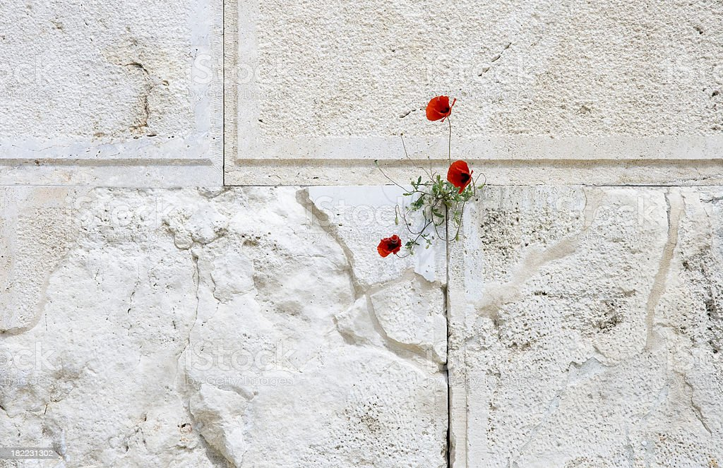 Poppies on Wall royalty-free stock photo