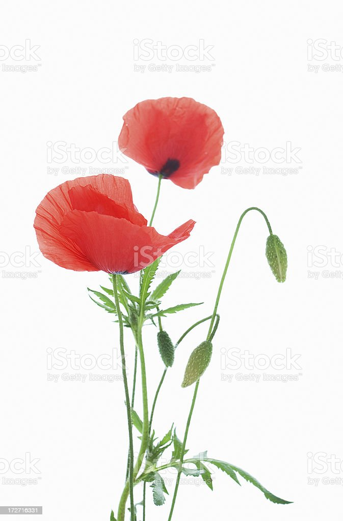 Poppies. royalty-free stock photo