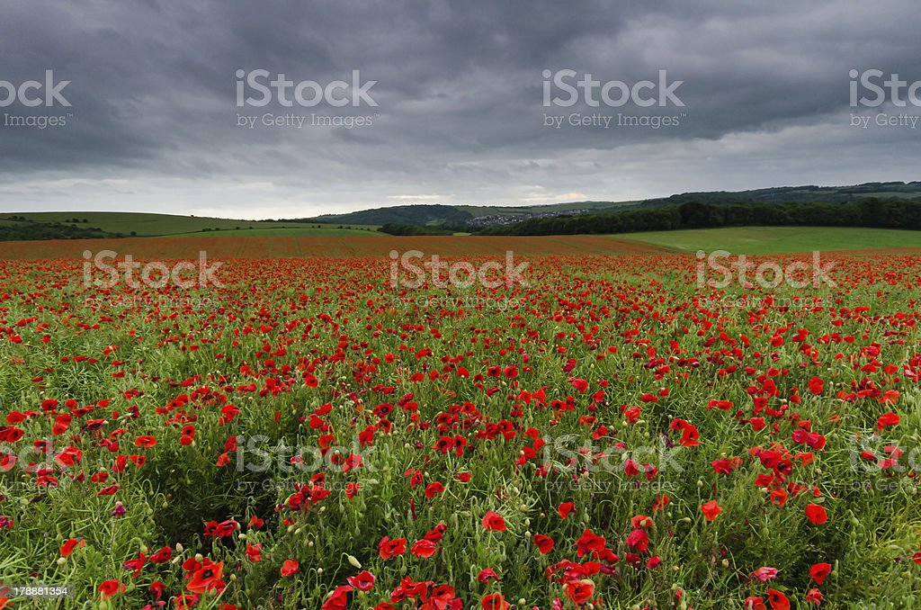 Poppies Click to view more - Agricultural Field Stock Photo