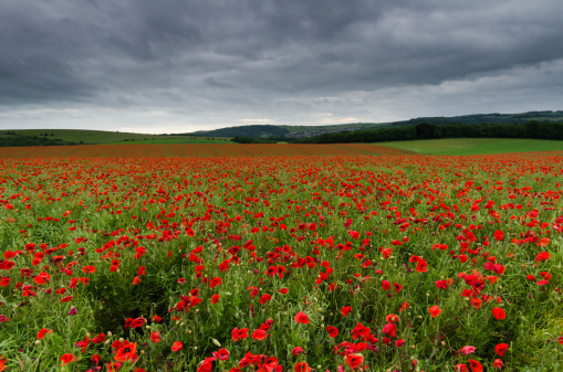 Poppies Stock Photo - Download Image Now