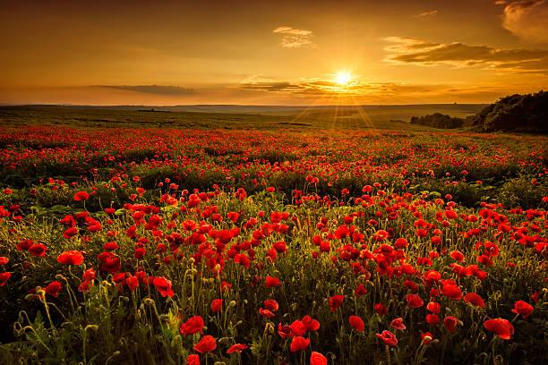 poppies - mohn stock-fotos und bilder