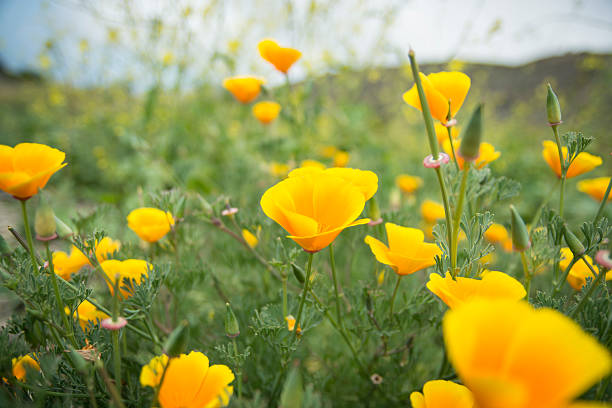 Royalty free yellow poppy pictures images and stock photos istock poppies stock photo mightylinksfo