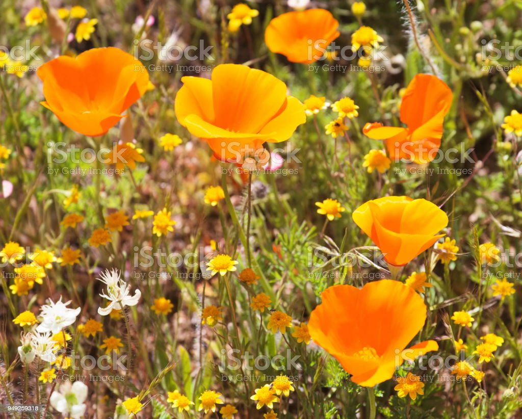 Poppies Stock Photo More Pictures Of California Golden Poppy Istock