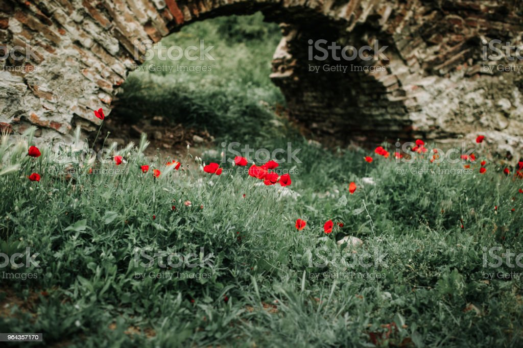 Poppies - Foto de stock de Beleza natural - Natureza royalty-free