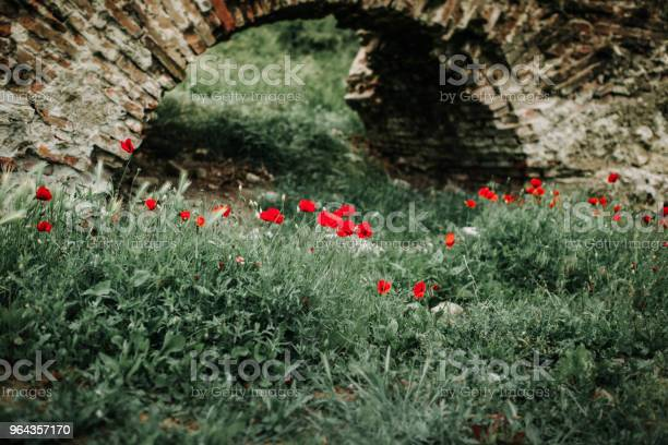 Foto de Poppies e mais fotos de stock de Beleza natural - Natureza