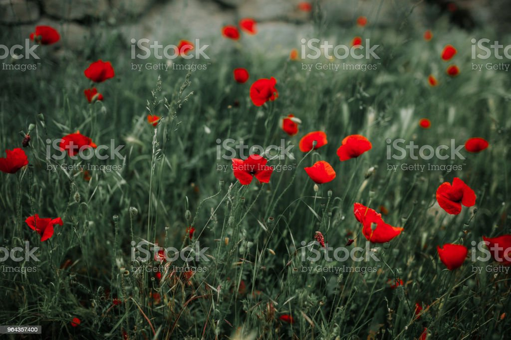 Poppies - Foto de stock de Beleza natural - Natureza royalty-free