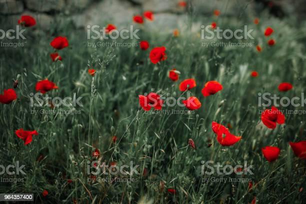 Foto de Poppies e mais fotos de stock de Beleza natural - Natureza