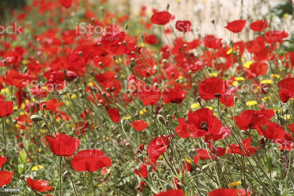 Poppies foto royalty-free